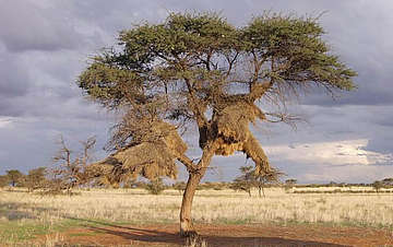 Namibia's South - Social Weaver